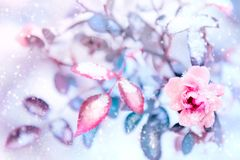 Beautiful pink roses and blue leaves in snow and frost in a winter park. Christmas artistic image. Selective and soft focus.  royalty free stock photo