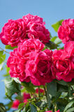 Beautiful pink roses on a blue sky Stock Image