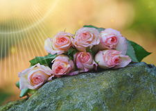 Beautiful Pink Roses Royalty Free Stock Images