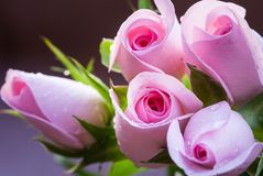 Beautiful Pink Roses Bouquet, on uniform background. Gift for a Marriage or Valentine`s Day stock images