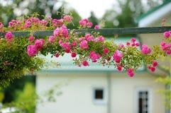 Beautiful pink roses bush. At the backyard Royalty Free Stock Image