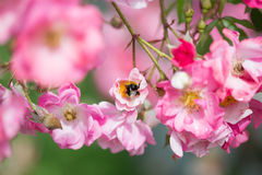 Beautiful pink roses Royalty Free Stock Photos