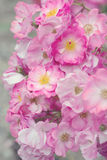 Beautiful pink roses Royalty Free Stock Photography