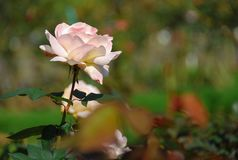 beautiful Pink roses dark green leaves in the park stock photo