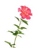 Beautiful pink roses for design isolated Royalty Free Stock Photography