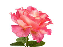 Beautiful pink roses for design isolated Royalty Free Stock Images