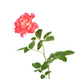 Beautiful pink roses for design isolated Stock Images