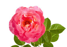 Beautiful pink roses for design isolated Royalty Free Stock Photo