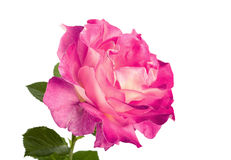 Beautiful pink roses for design isolated Royalty Free Stock Photos
