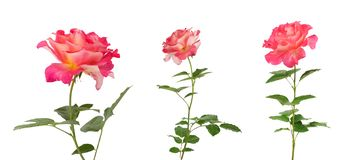 Beautiful pink roses for design isolated on white background Stock Photo