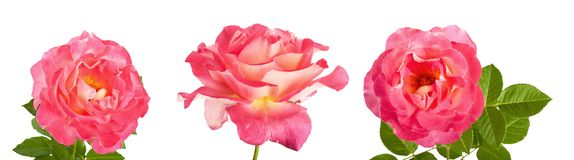 Beautiful pink roses for design isolated on white background Stock Images