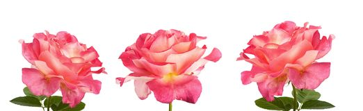 Beautiful pink roses for design isolated on white background Royalty Free Stock Images
