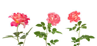 Beautiful pink roses for design isolated on white background Stock Image