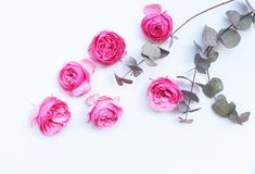 Beautiful pink roses and eucalyptus leaves scattered on a white background, overhead view. Flat lay. Top view. Empty stock image
