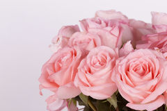 Beautiful pink roses flower Stock Images
