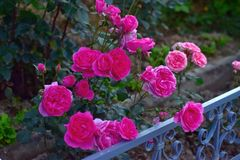 Beautiful pink roses flowers at dusk stock photography