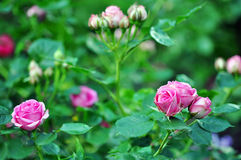 Beautiful Pink Roses Flowers Outdoor Stock Image
