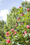 Beautiful pink roses. In the garden Stock Photography