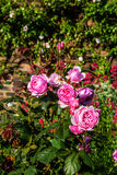 Beautiful pink roses in the garden Stock Image