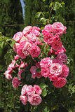 Beautiful pink roses in garden Royalty Free Stock Images