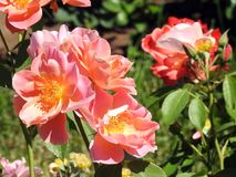 Beautiful pink roses in garden, Lithuania Stock Photography