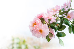 Beautiful pink roses in the garden,Pink eustoma flower bouquet for background Royalty Free Stock Photos