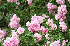 Beautiful pink roses in the garden Stock Images