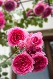 Beautiful pink roses in garden Stock Image
