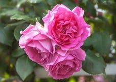 Beautiful pink roses in garden Stock Photos
