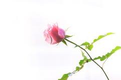 Beautiful pink roses Stock Photos