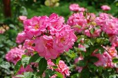 Summer background. Flowers in the garden. Lovely perfumed pink roses. Summer background with flowers. Lovely perfumed pink roses in the garden stock photos