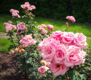 Summer background. Flowers in the garden. Lovely perfumed pink roses Stock Photo