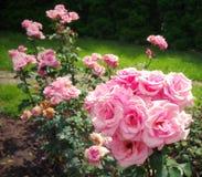 Summer background. Flowers in the garden. Lovely perfumed pink roses. Summer background with flowers. Lovely perfumed pink roses in the garden stock photo