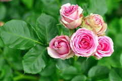 Beautiful Pink Roses In Nature Stock Photography