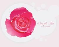 Beautiful Pink Roses. Stock Image