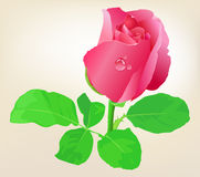 Beautiful Pink Roses. Stock Photo