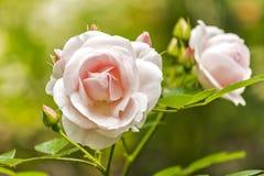 Beautiful pink roses Stock Photography