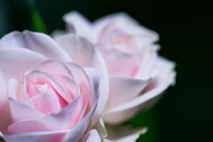 Beautiful pink roses on a soft background with shallow depth of field and focus the centre of rose flower Royalty Free Stock Photography