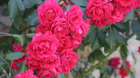 Beautiful pink roses stock video footage