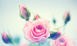 Beautiful pink roses. Vintage styled card Stock Photos