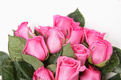 Beautiful Pink Roses With Water Drops Royalty Free Stock Photos