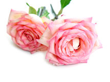 Beautiful pink roses on a white background. Royalty Free Stock Photography