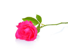 Beautiful pink roses on white background Royalty Free Stock Photo