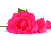 Beautiful pink roses on white background Royalty Free Stock Images