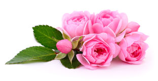 Beautiful pink roses. Royalty Free Stock Photos