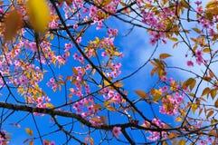 Beautiful pink sakura blossom Stock Image