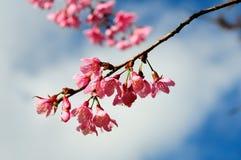 Beautiful pink sakura blossom Royalty Free Stock Image