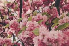 Beautiful pink sakura blossoms stock photo