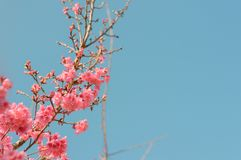 Beautiful pink cherry blossoms in garden royalty free stock image