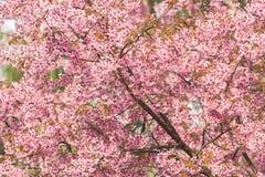 Beautiful pink Sakura flower blooming. Background Royalty Free Stock Photo
